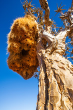 Sociable Weaver Nest In A Quiver Tree