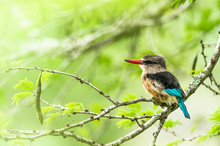 Brown Hooded Kingfisher Perching On Twig