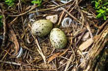 Gull Nest And Eggs