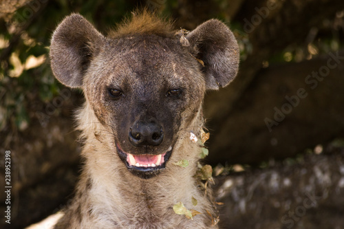 Photo Stands Hyena Hyena Resting in Shade