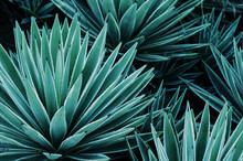 Agave Plants, Palms And Succul...