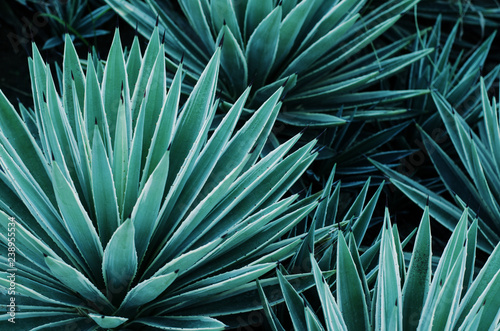 Agave plants, palms and succulents in the tropical garden. Abstract pattern of plants