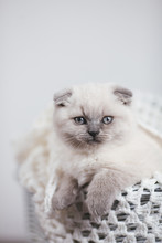 Cute Scottish Fold Shorthair Silver Color Point Kitten With Blue Eyes, Lies On A White Background