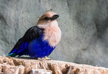 Closeup Of A Blue Bellied Roller Sitting On A Tree Stump, A Beautiful And Colorful Bird From The Savannah Of Africa