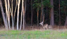 Pair Of Whitetail Deer Near A ...