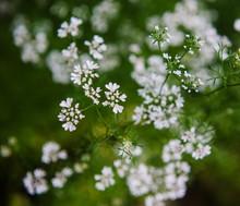 White Babies Breath Flowers Growing In Summer