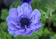 Anemone Flower In Violet Blue Close Up