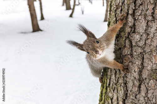 park in winter. cute young squirrel sitting on tree trunk and searching for food, closeup view