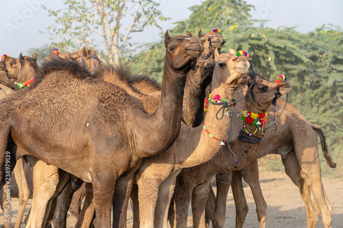 Camels in desert Thar during Pushkar Camel Fair, Rajasthan, India