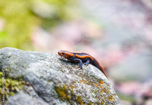 Fotografie, Obraz  salamander on the rock wildlife reptile crocodile salamander spotted orange and