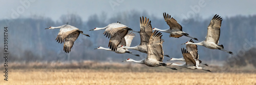 Photo sur Toile Oiseau Sandhills Take Flight in Indiana