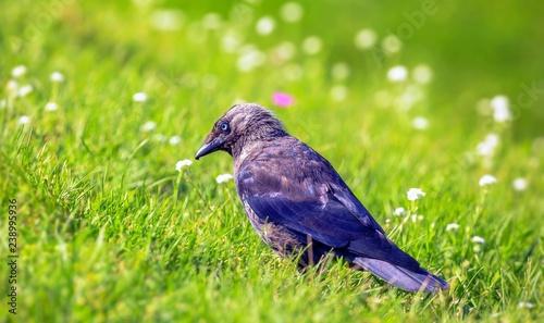 Fotografía  Vibrant close up image of jackdaw bird in green summer day