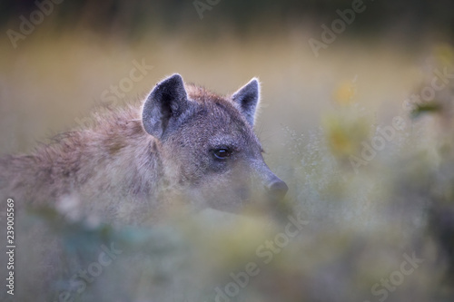 Spotted hyena, Crocuta crocuta  Wild animal portrait