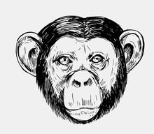Sketch Of A Monkey Head. Chimp...