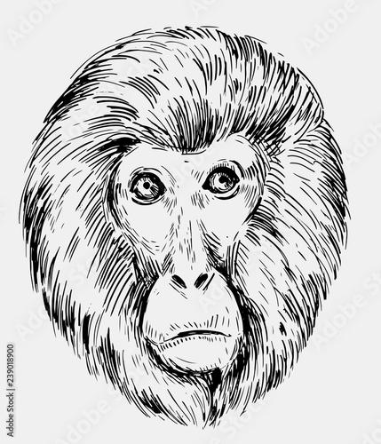 Photo sur Toile Croquis dessinés à la main des animaux Sketch of a monkey head. Hand drawn sketch converted to vector