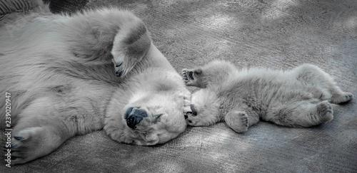 Recess Fitting Polar bear polar bears, mother and baby, closeup