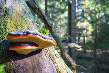 Red Banded Polypore On A Tree ...