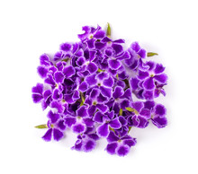 Violet Flower Isolated On White Background. Top View