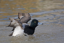 A Male Greater Scaup, Aythya Marila, Wing Flap