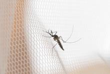 Mosquito On White Mosquito Wir...