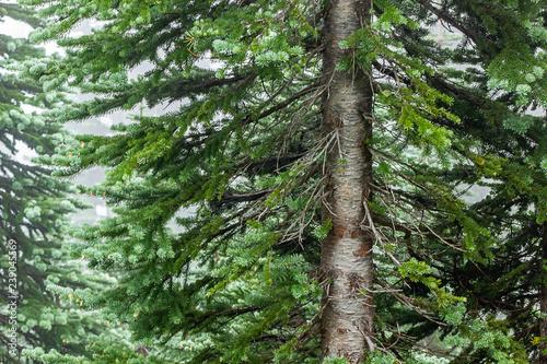 Fényképezés  trunk of fir tree in fog mist close up