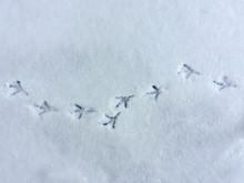Dove Bird Snow Footprint Close-up Texture