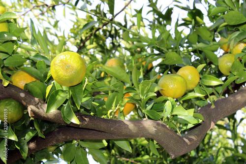 Fotografia  Ramo di mandarino con frutti