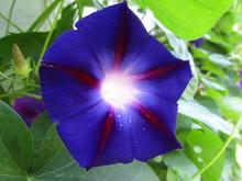 синя іпомея