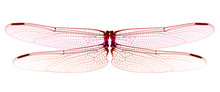 Red Dragonfly Wings Isolated On White Background.
