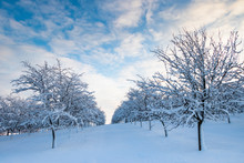 Fruit Trees At Winter Landscape With Beautiful Sky, Snowy Orchard