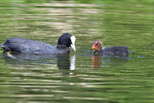 Coots In The Water