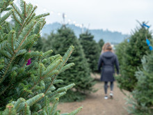 Patrons Walk And Browse A Holiday Christmas Tree Market With Focus On Tree Branches From Douglas Fir Tree