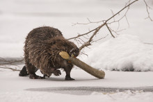 Beaver / Castor Fiber