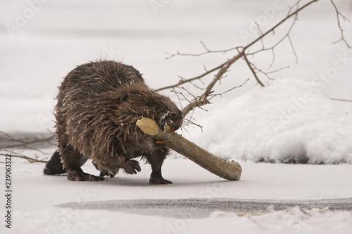 Photo Beaver / Castor fiber