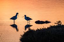 American Avocet Birds At Sunset In The Tidal Marshes Of Alviso, Don Edwards San Francisco Bay National Wildlife Refuge, San Jose, California