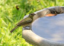 Painted Bunting Female Perched On Birdbath