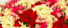 Frame Of Pink Poinsettia Flowe...
