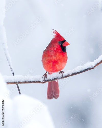 Photo  Male Cardinal in the Snow
