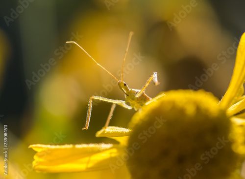 Fotografie, Obraz  A comical Assassin Bug (Reduviidae) sets a trap for insect prey on a yellow flow