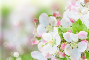 FototapetaApple tree blossom