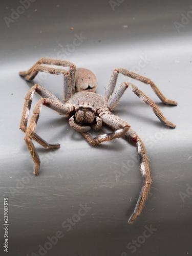 Photo Huntsman Spider (Holconia montana)