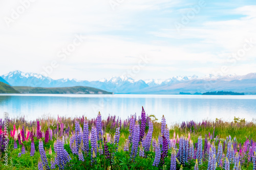 Canvas Print Beautiful landscape of Lupins flower and Alpine mountains around Lake Tekapo area, New Zealand