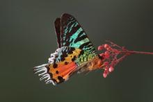 Madagascan Sunset Moth (Chrysi...