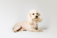 Poodle Dog Lying On A White Background Studio