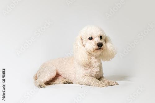 Photographie poodle dog lying on a white background studio
