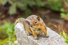 Curious Cute Chipmunk Up On Gray Rock