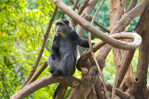 Sykes' monkey (White throated monkey, Samango monkey) sitting on branch in Manyara Region, Tanzania, Africa