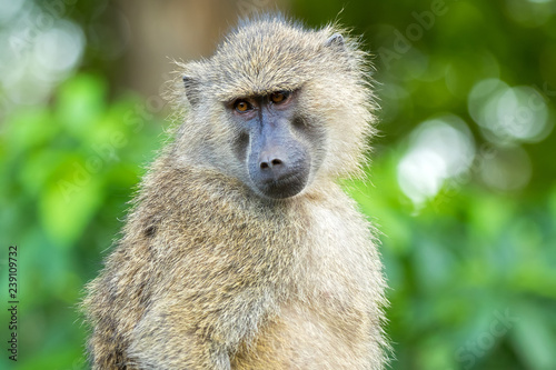 Olive Baboon, old world monkey with olive green coat with blurred Bokeh background in Tanzania, East Africa