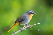 Cape Robin Chat Bird, Old Worl...