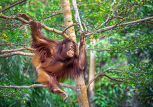 Orangutan Resting In A Tree.